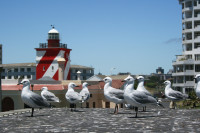 Seagulls at Mouille Point lighthouse [0712018061]