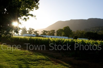 sunset,vineyard,constantia,wine estate