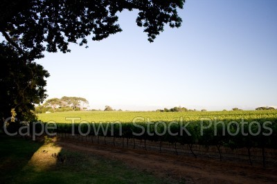 vineyard,constantia,wine estate