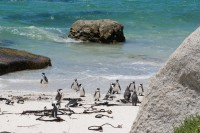Penguins on Boulders Beach [0712198476]