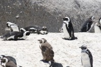 Penguins on Boulders Beach [0712198477]