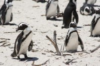 Penguins on Boulders Beach [0712198478]