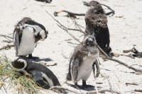 Penguins on Boulders Beach [0712198479]