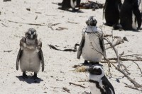 Penguins on Boulders Beach [0712198485]