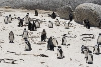 Penguins on Boulders Beach [0712198486]