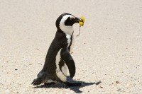 Penguin carrying a leaf [0712198492]