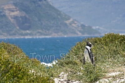 bird,penguins,boulders beach