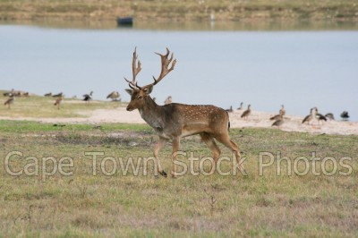 antelope,animals,fallow deer