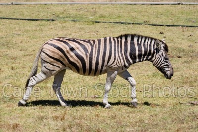 animals,zebra