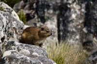 Dassie on Table Mountain [1103263040]