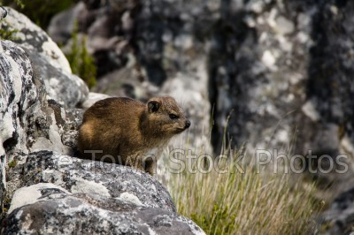 animals,dassies