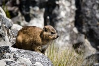 Dassie on Table Mountain [1103263043]
