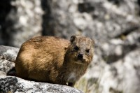 Dassie on Table Mountain [1103263047]