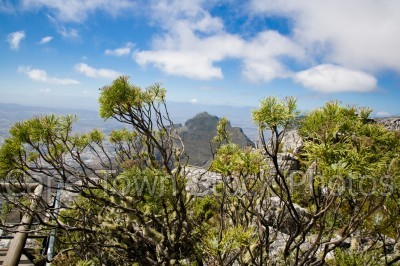 table mountain,fynbos,devil's peak,flora