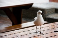 Seagull on a table in rain [1103313480]