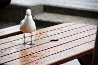 Seagull on a table in rain [1103313481]