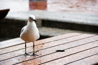 Seagull on a table in rain [1103313483]