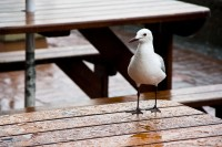 Seagull on a table in rain [1103313486]