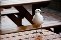 Seagull on a table in rain [1103313487]