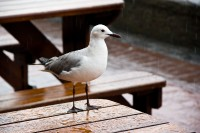 Seagull on a table in rain [1103313488]