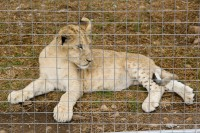 Young lion cub in captivity [1103313580]