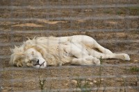 White male lion sleeping in a cage [1103313589]