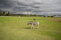 Zebras in a field [1103313597]
