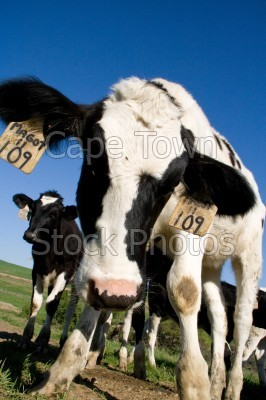 animals,cows