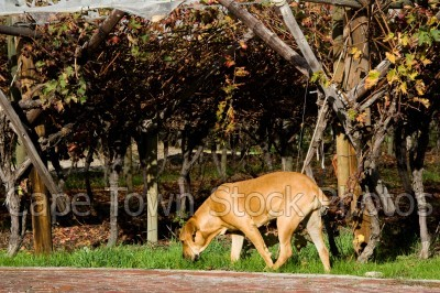 vineyard,dogs,animals