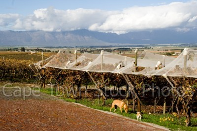 mountain,landscape,countryside,vineyard,dogs,animals,farmlands,fields