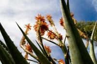 Aloe vera plant with orange flowers [1108077546]