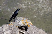 Black Starling bird [1108290763]