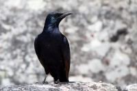Black Starling bird [1108290816]