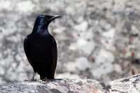 Black Starling bird [1108290817]