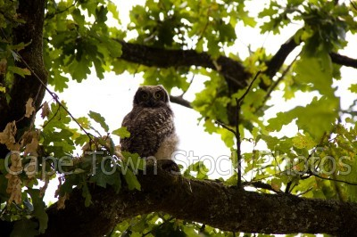 leaves,owl,oak tree
