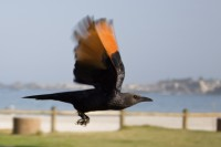 Blurry action shot of a starling in flight [1201215265]