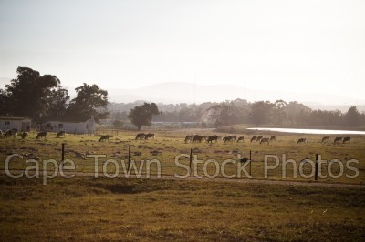 farm,durbanville,cows,fields