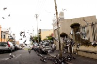 Pidgin birds flocking in the street [1204017128]