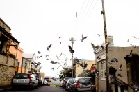 Pidgin birds flocking in the street   [1204017129]