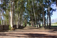 Dirt road lined with Blue Gum trees [1204117628]