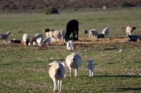 Sheep and lambs in a field [1205278429]