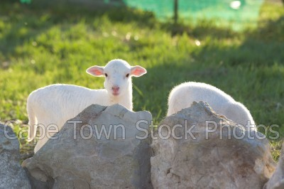 animals,lamb,sheep