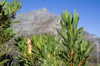 Table Mountain with protea leaves [1206038521]