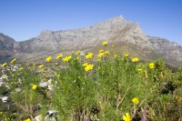 Table Mountain with yellow flowers [1206038523]