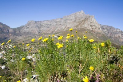 table mountain,flora,flowers