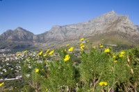 Table Mountain with yellow flowers [1206038524]