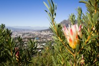 Bright protea flower [1206038528]