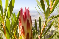 Bright protea flower [1206038530]