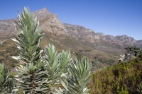 Protea leaves and the Twelve Apostles [1206038534]