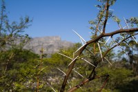 Thorn tree with Table Mountain [1206168753]
